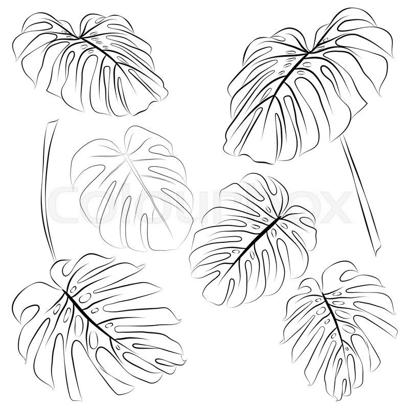 800x800 Set Of Tropical Monstera Leaves Outline. Vector Illustration