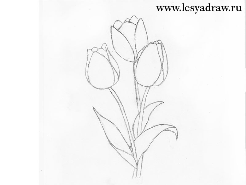 800x600 How To Draw A Tulip With A Pencil Step By Step For Beginners