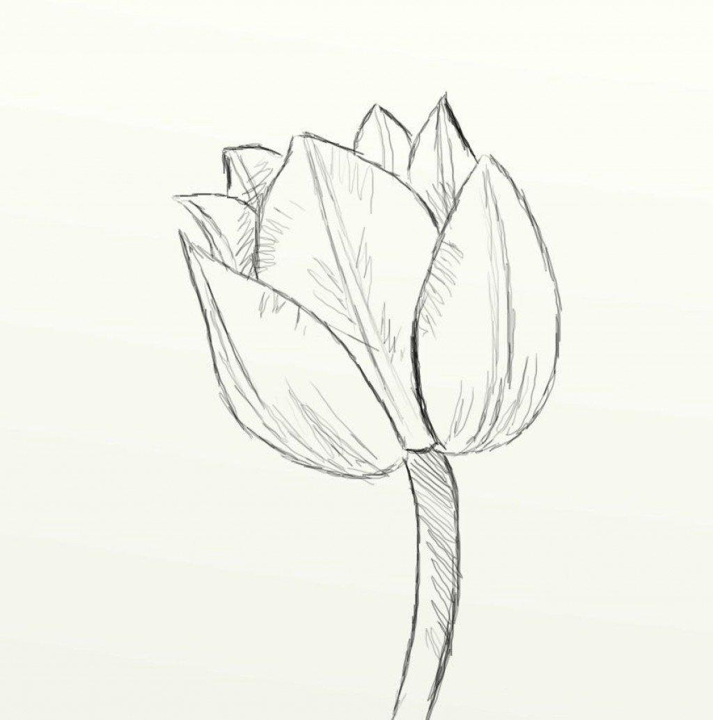 1024x1034 Tulip Drawing