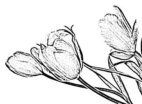 488x359 Tulip Flower Sketch