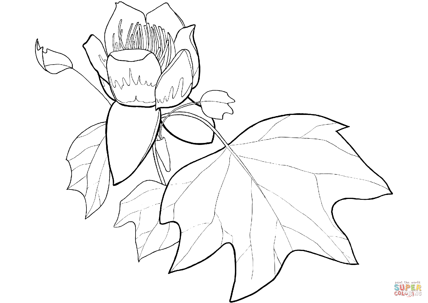 1500x1060 Tulip Poplar Flower And Leaf Coloring Page Free Printable