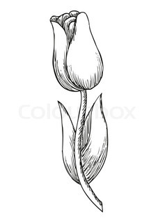 227x320 Beautiful Monochrome Black And White Tulip Flower Isolated