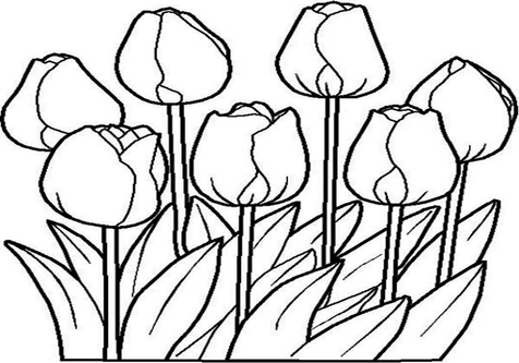 476x333 Drawn Tulip Coloring Book Page Image Clipart Images