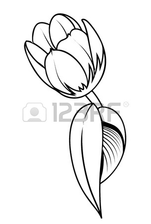 305x450 Tulip Flower Drawing Royalty Free Cliparts, Vectors, And Stock