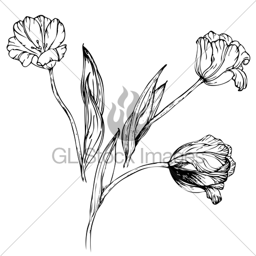 500x500 Vector Hand Drawing Black And White Tulips Flowers Gl Stock Images