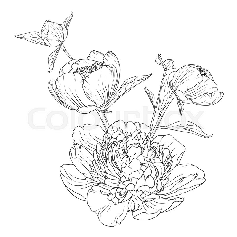 800x800 Peony Rose Flowers Bouquet Composition. Detailed Realistic Outline