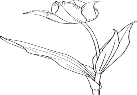 476x333 Tulip Outline Coloring Page Image Clipart Images