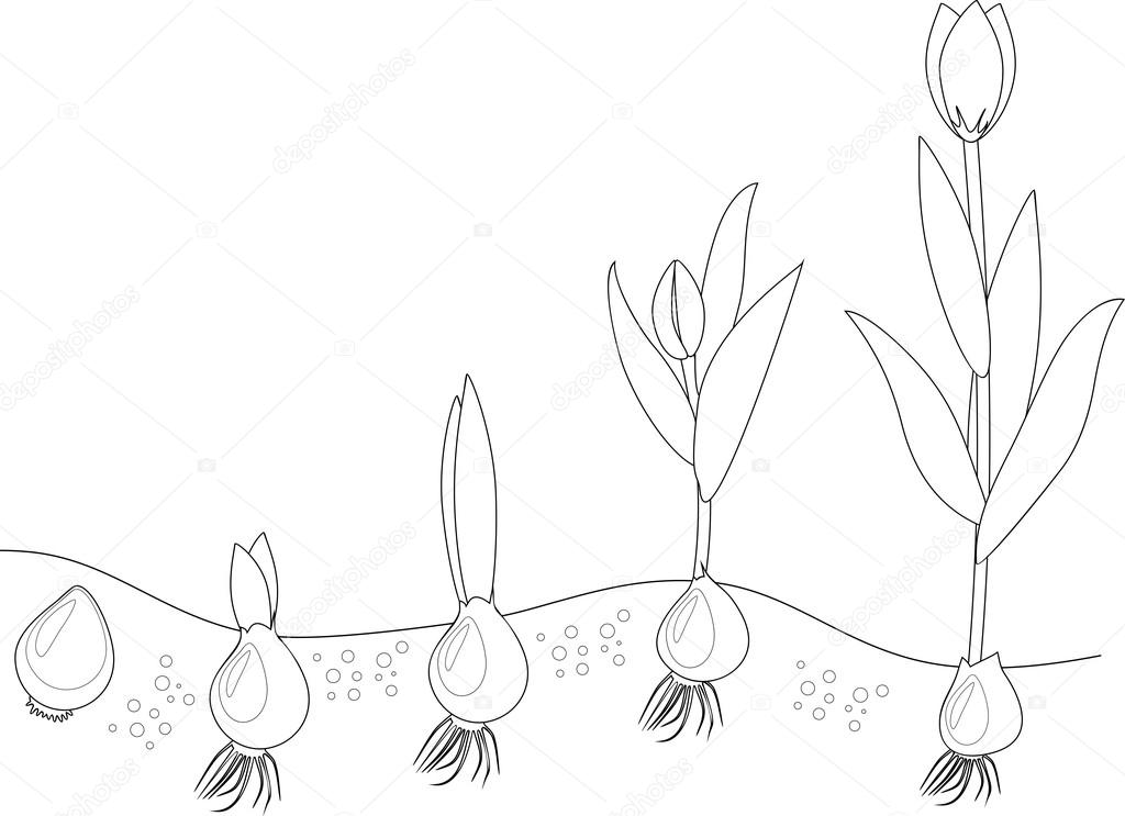 1024x743 Tulip Growth Stage. Coloring Stock Vector Mariaflaya