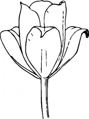 288x385 Tulip Outline Clipart