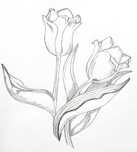tulips pencil drawing at getdrawings com free for personal use