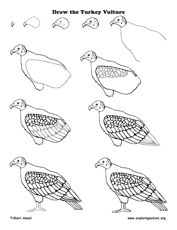612x792 Turkey Vulture Drawing Lesson