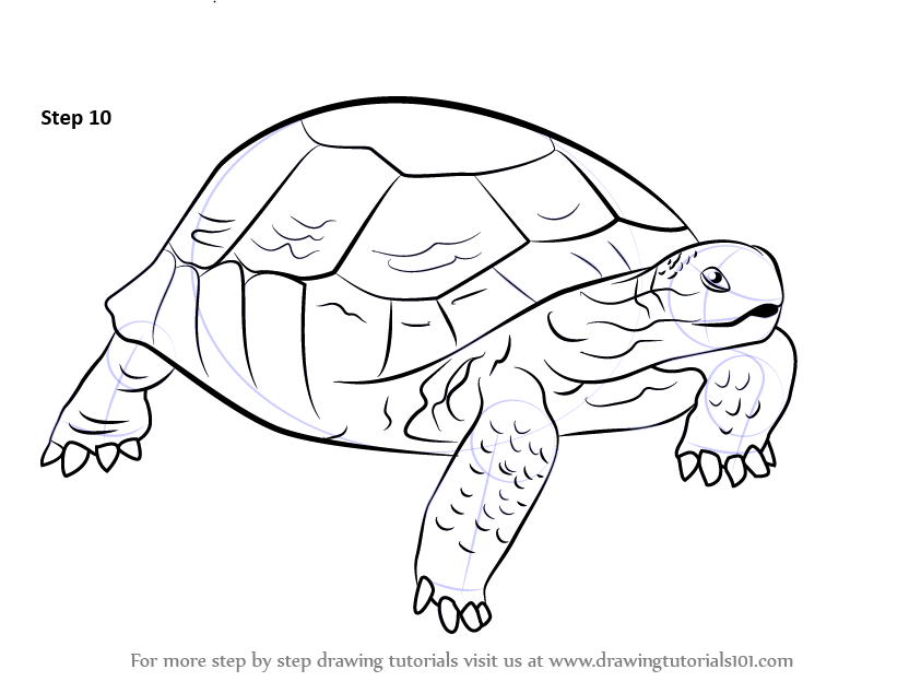 843x634 Learn How To Draw A Desert Tortoise (Turtles And Tortoises) Step