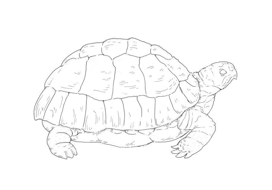900x628 Let's Draw A Turtle! Eugenia Hauss