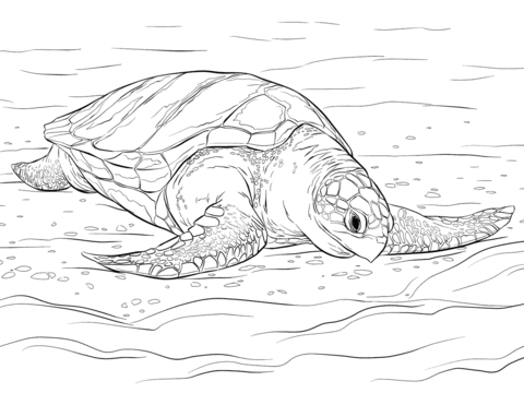 480x360 Olive Ridley Sea Turtle Coloring Page Free Printable Pages