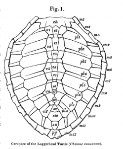 249x300 Turtle Shells More Than Meets The Eye Jstor Daily