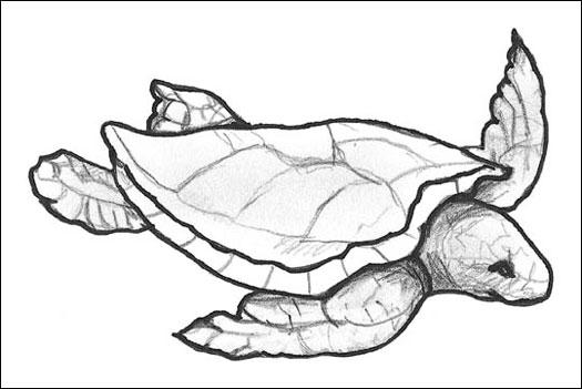 525x351 Understanding Turtles And Tortoises