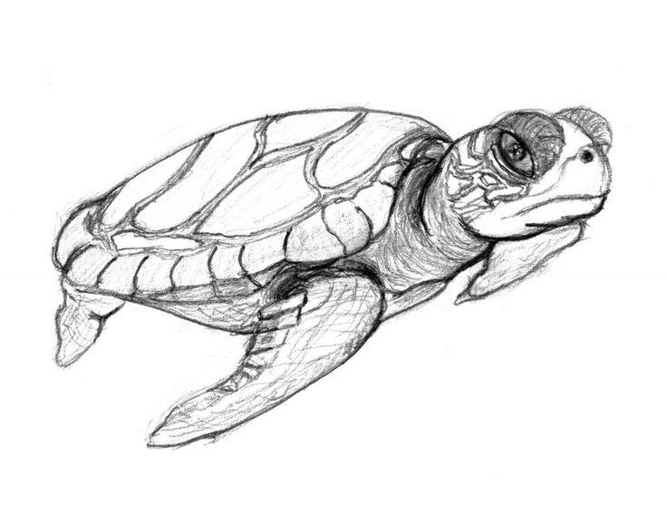Turtle Sketch Drawing