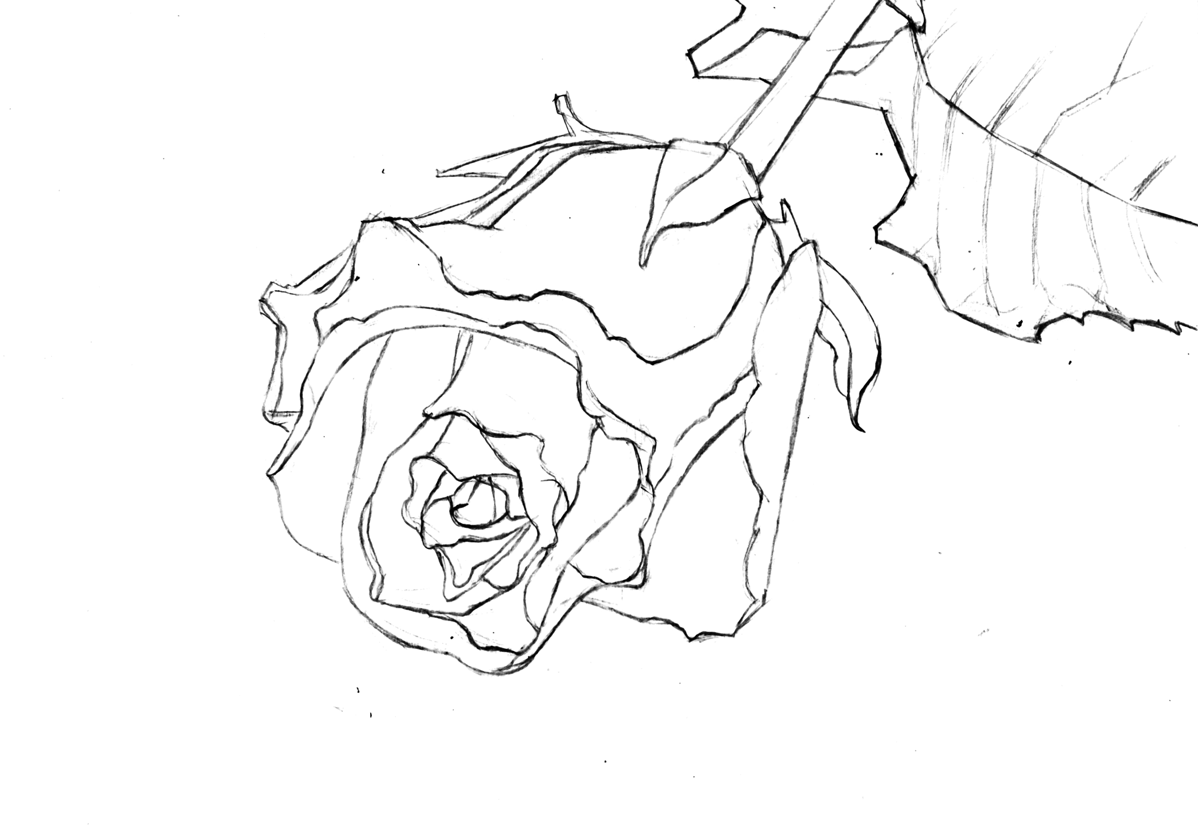 2456x1692 Painting A Rose In Watercolor Watercolor Discussion Forum