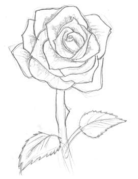 271x350 Drawing Of Rose