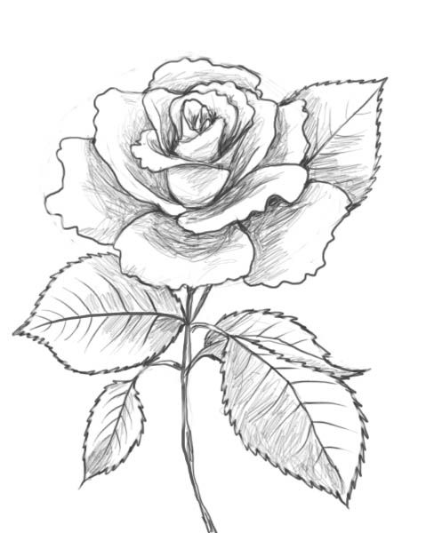 488x600 Rose Drawings How To Draw A Rose Drawing Factory Drawings