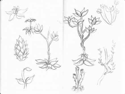 440x330 Daisy Flower Pencil Drawing, Plant Sketches