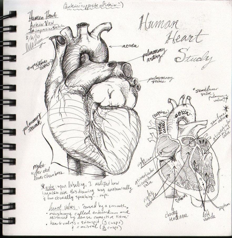 882x906 Human Heart Sketchbook Study By Bluesytealyren