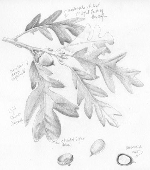 501x565 Garry Oak Botanical Painting