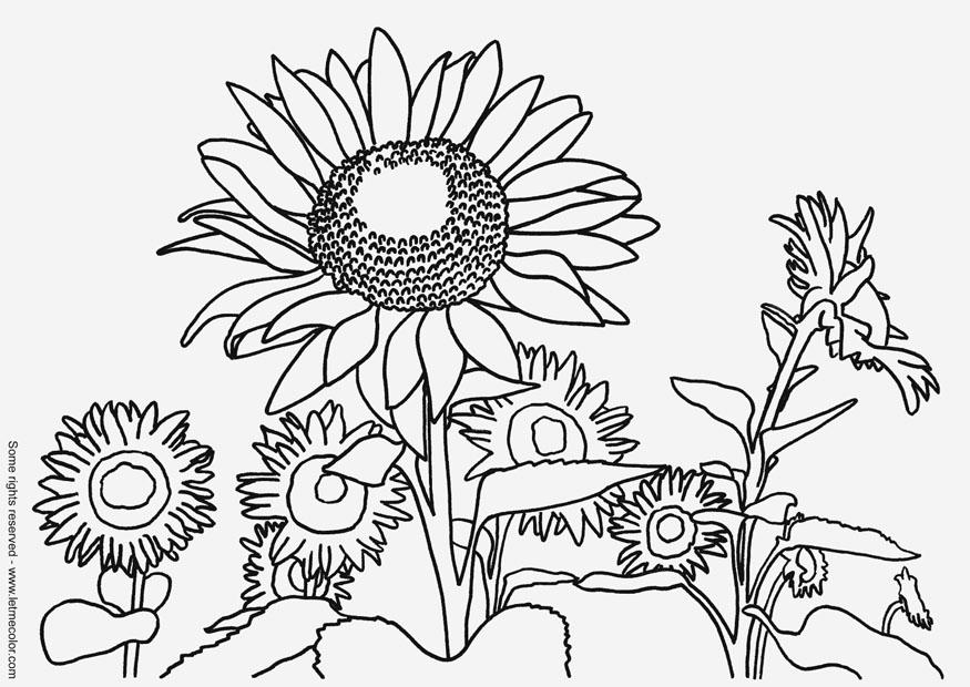 875x620 Coloring Page Sunflowers
