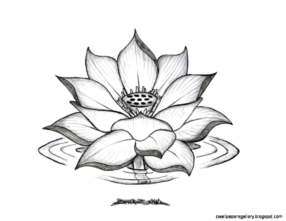 990x765 Lotus Flower Drawing Sketch Wallpapers Gallery