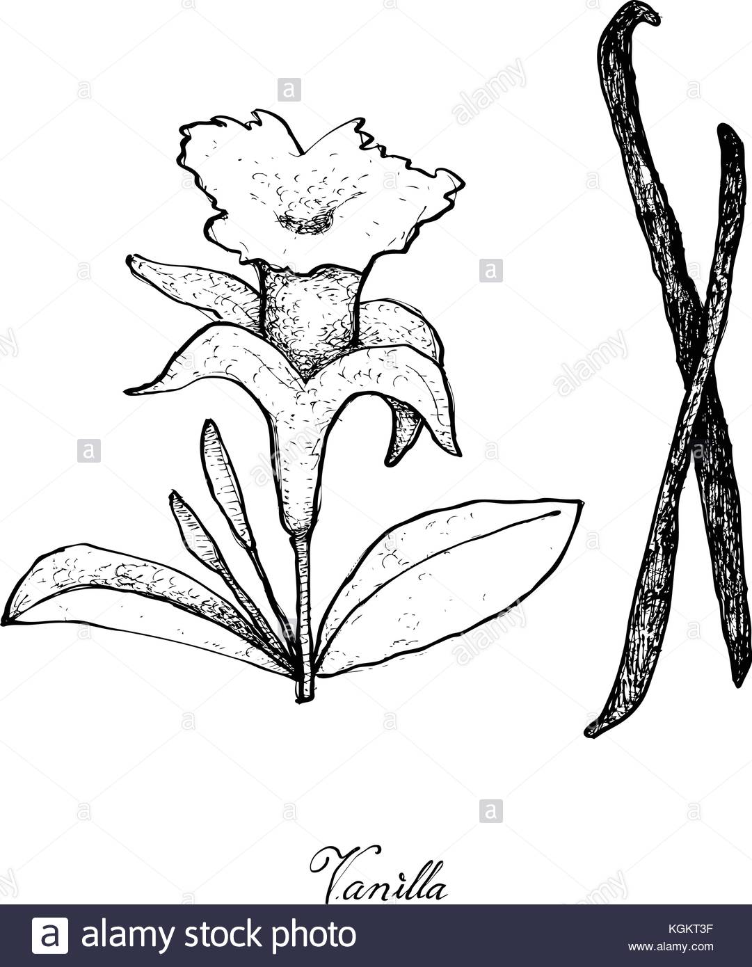 1081x1390 Illustration Of Hand Drawn Sketch Fragrant Vanilla Flower And Pods