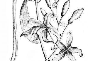 300x210 Vanilla Flower Drawing