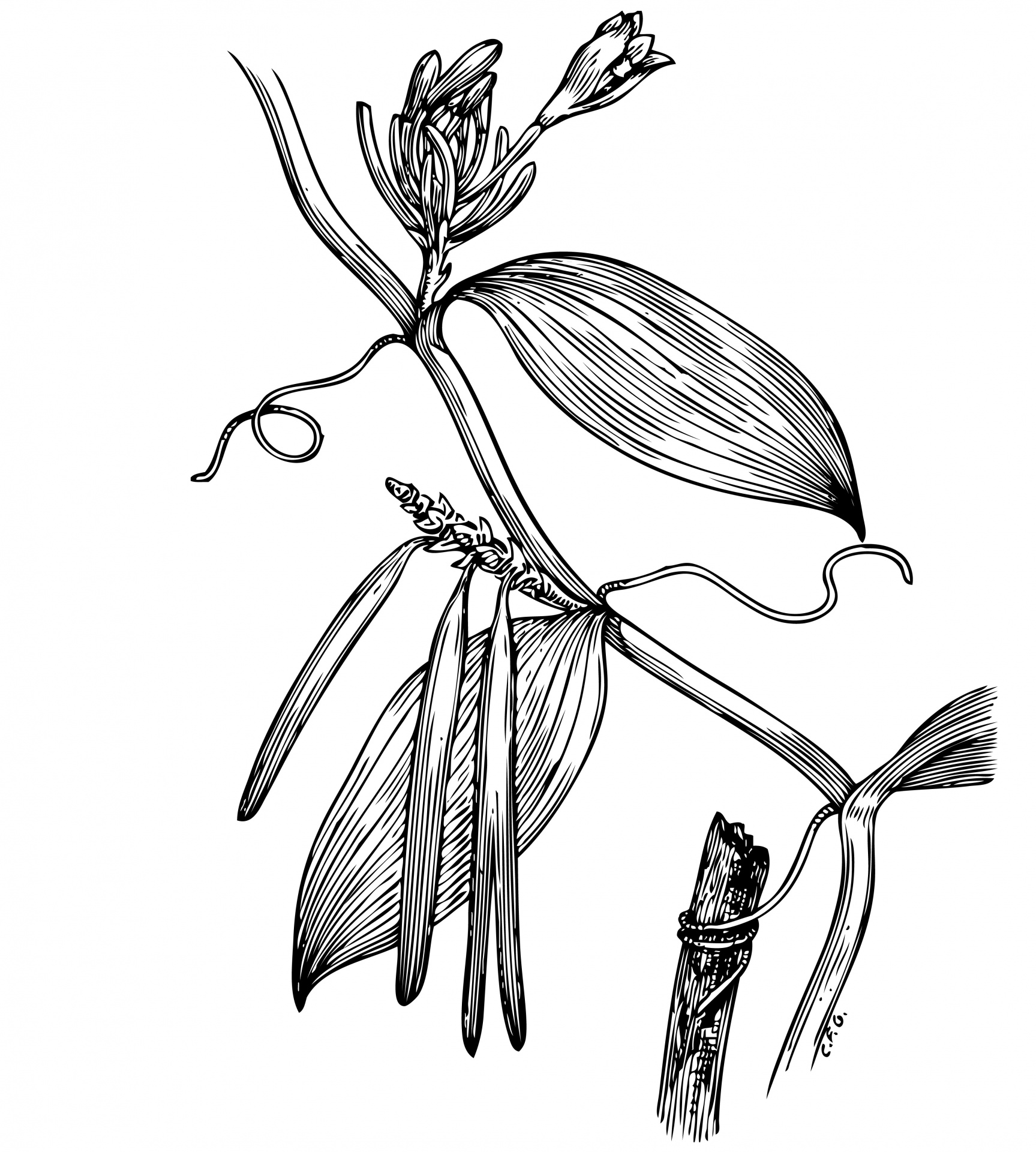 1727x1920 Vanilla Plant Illustration Clipart Free Stock Photo