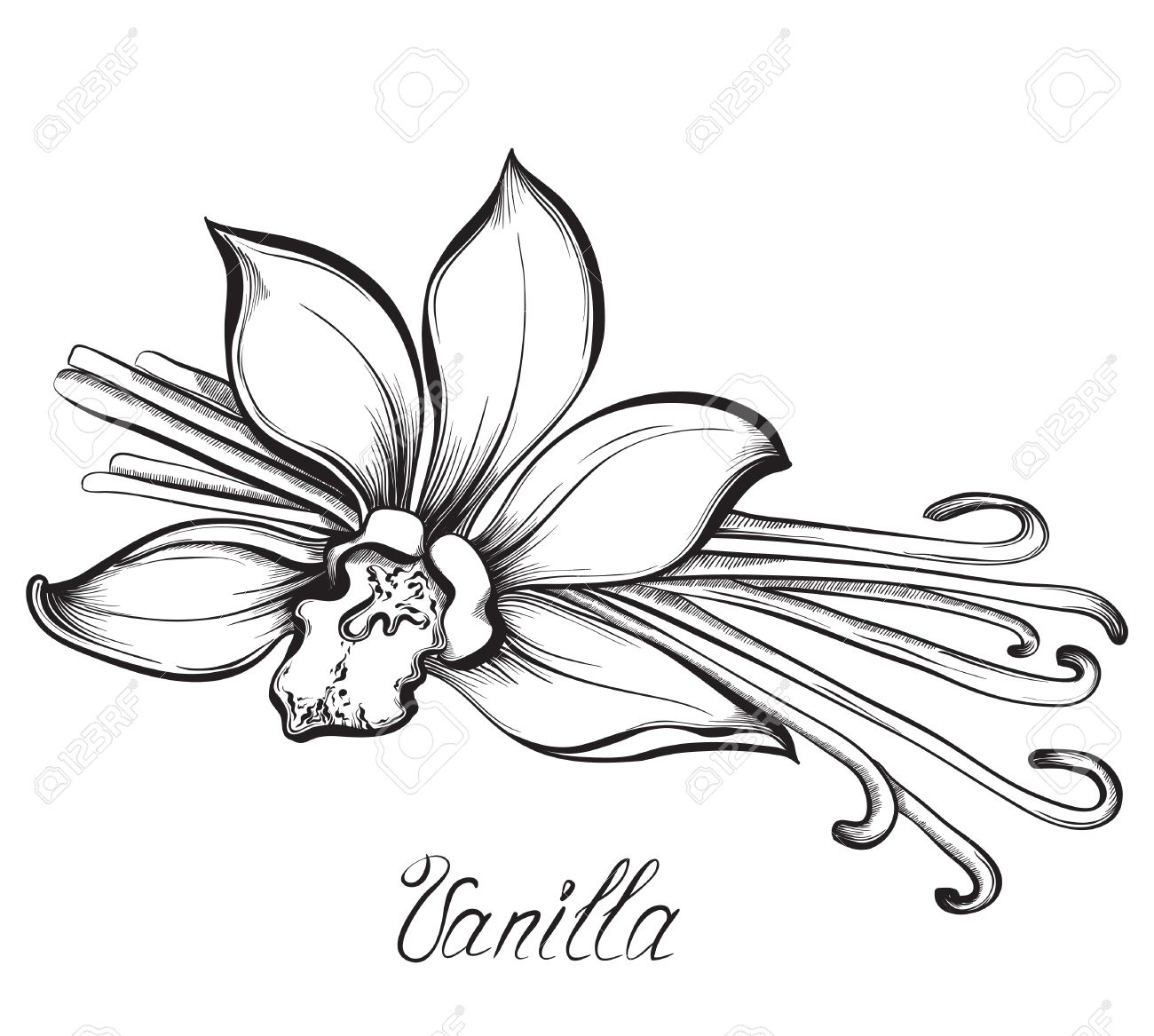 1300x1167 Vanilla Pods And Flower. Hand Drawn Sketches Vector Illustration