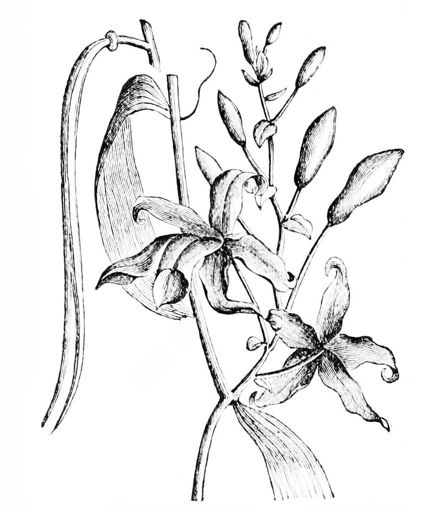 848x1025 Filepsm V15 D661 Vanilla Planifolia.jpg
