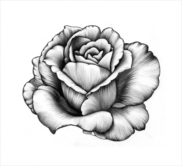 Pencil drawing of a rose