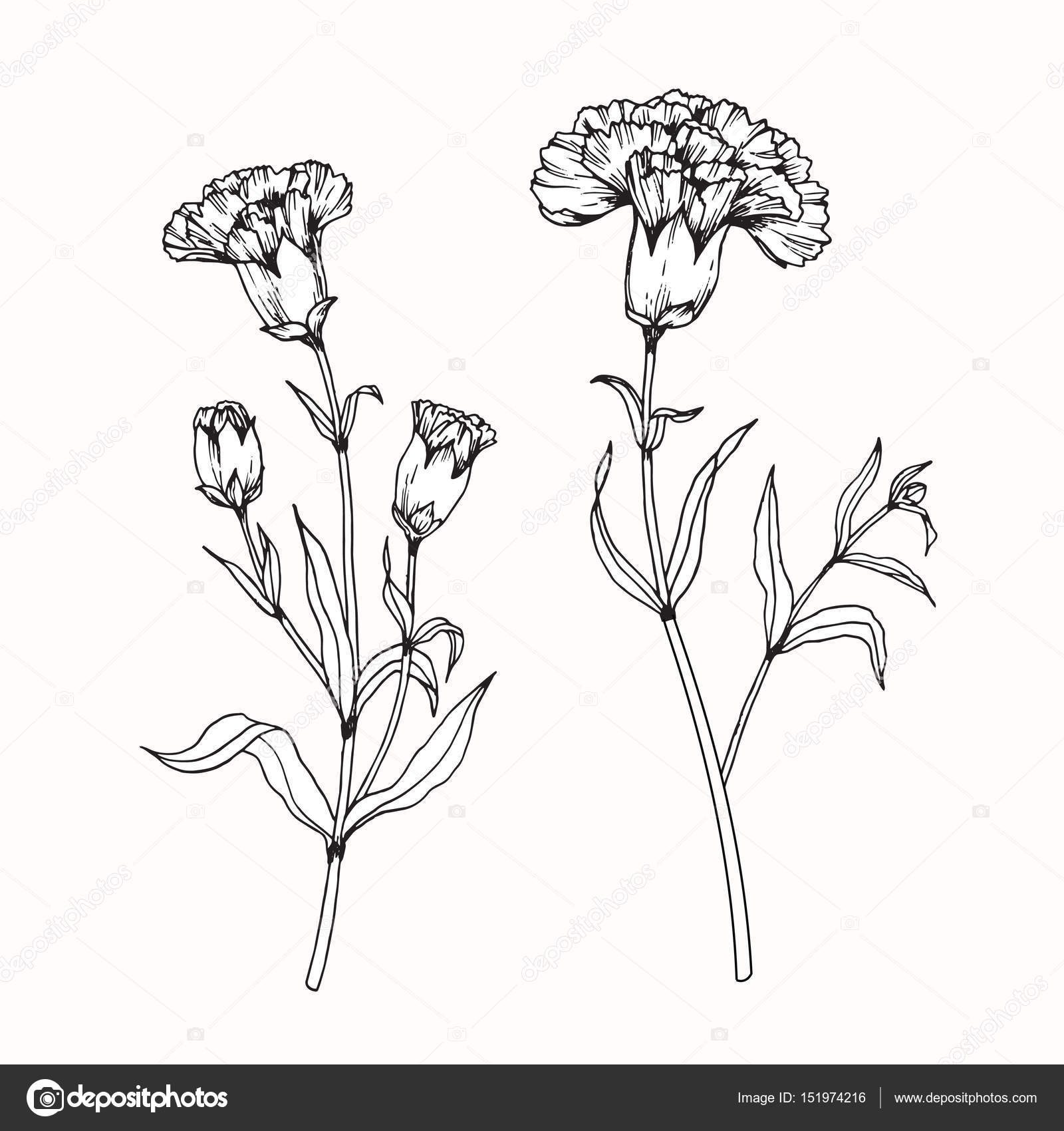 1600x1700 Carnation Flowers Drawing And Sketch With Line Art Stock Vector