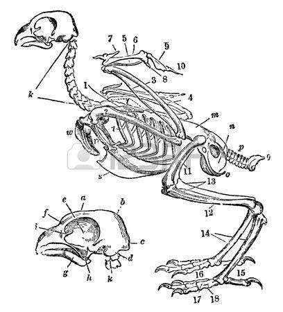 408x450 Victorian Engraving Of A Skeleton Of A Bird. Digitally Restored