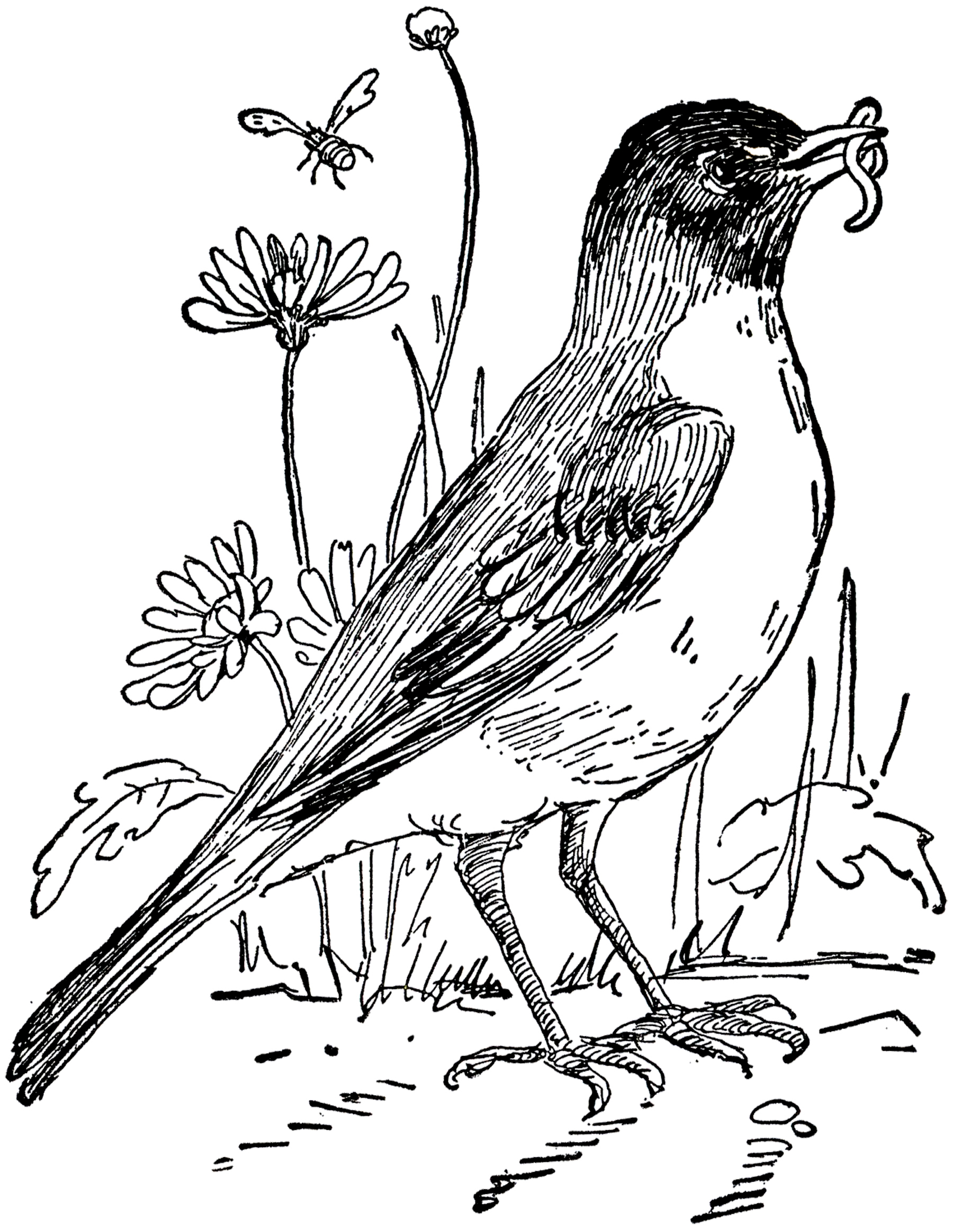 1800x2325 Vintage Robin Drawing