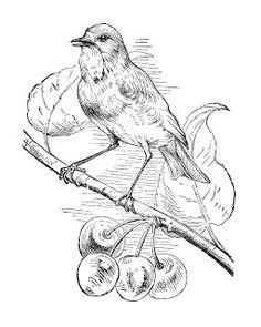 236x295 Vintage Bird Clip Art, Song Sparrow, Chipping Sparrow, Black
