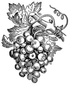 236x283 Drawings Of Grapes And Vines Grape Vine Art