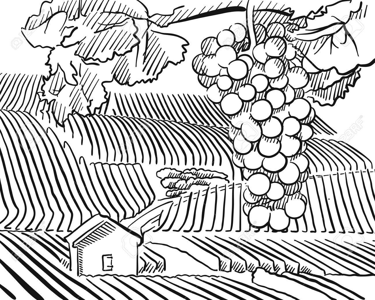 1300x1040 Vineyard Hills With Hanging Grapes In Foreground, Vector Sketched