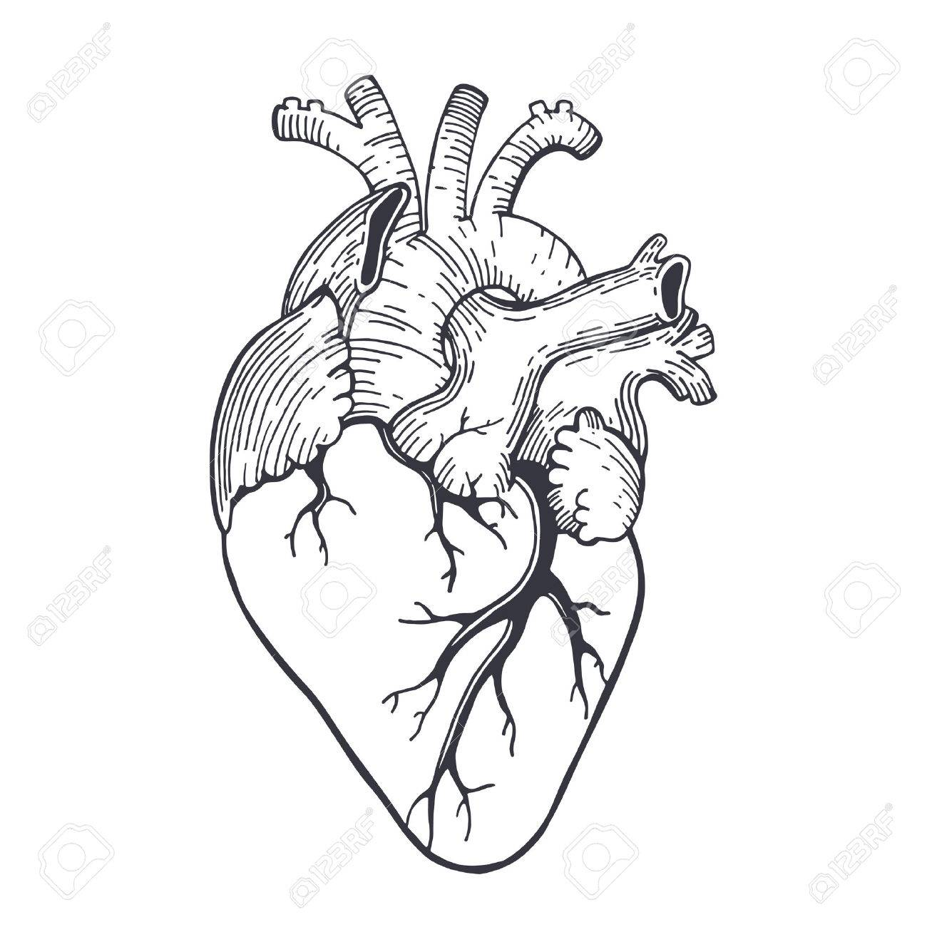 1300x1300 Vector Realistic Anatomical Heart Royalty Free Cliparts, Vectors