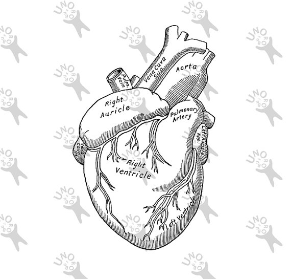 570x545 Vintage Anatomy Human Heart Antique Drawing Old Illustration