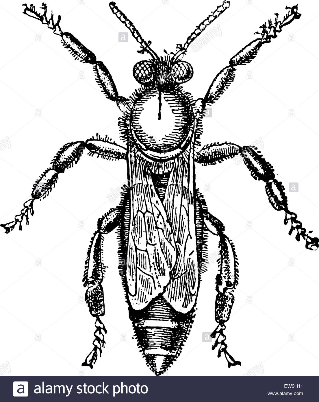 1104x1390 Female Or Queen Bee, Vintage Engraved Illustration. Magasin Stock