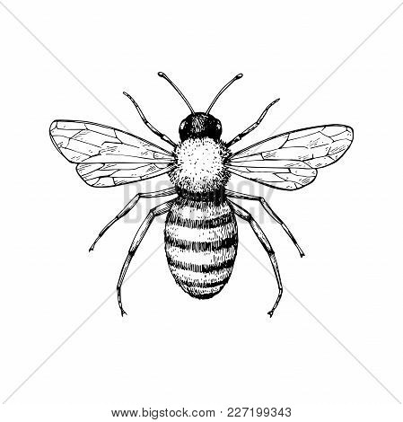449x470 Honey Bee Vintage Vector Drawing. Vector Amp Photo Bigstock