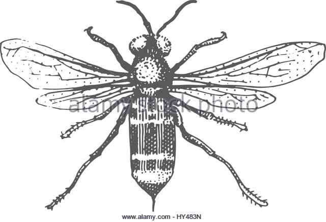 640x437 Bee Illustration Engraving Drawing Ink Stock Photos Amp Bee