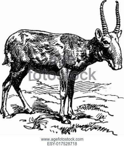426x507 The Goat, Vintage Engraving, Stock Photo, Picture And Low Budget