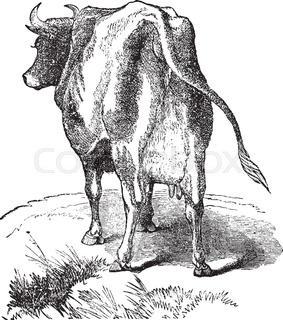 283x320 This Illustration Represents Female Cow With Horns, Vintage Line