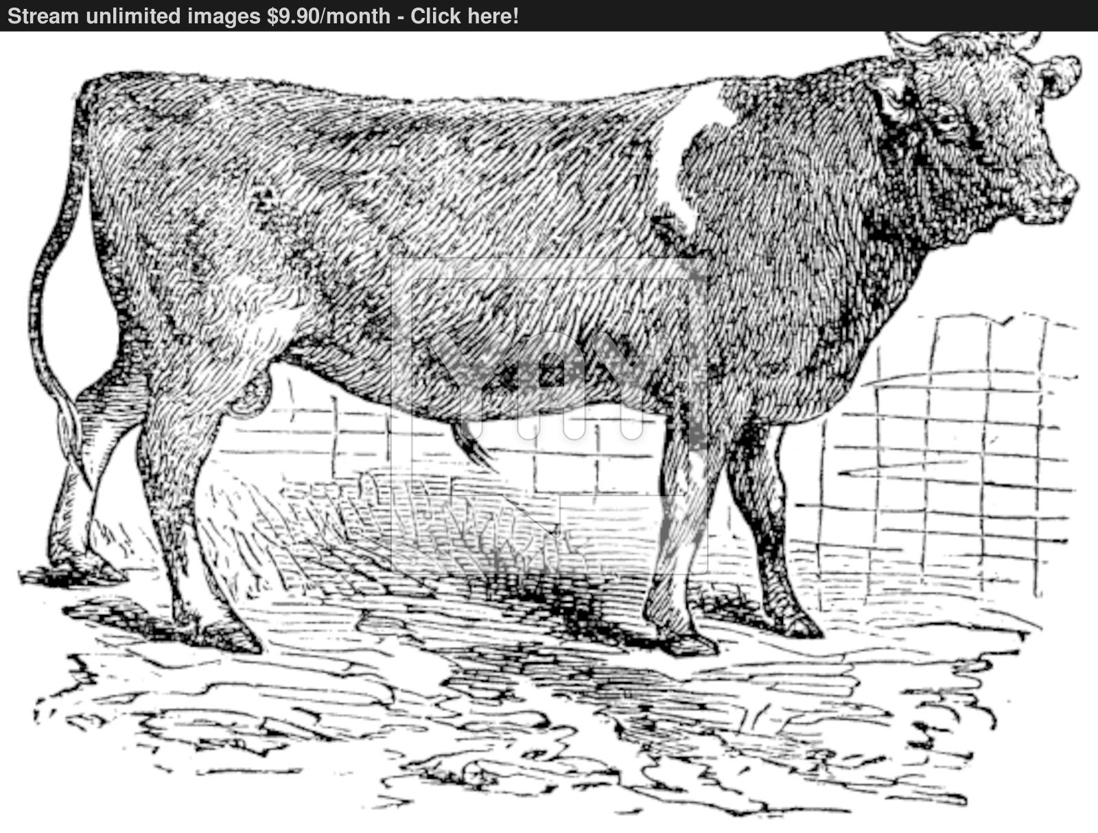 1600x1214 Alderney, Cattle, Vintage Engraving. Vector