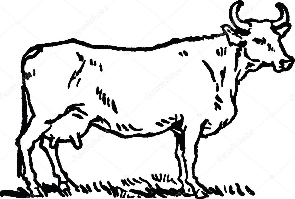 1024x690 Vintage Drawing Cow Stock Photo